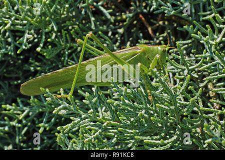 Super Green Bush Cricket, reife weibliche - Stockfoto