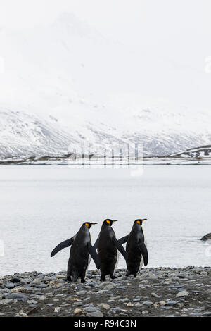 Drei Königspinguine läuft in einer Reihe über dem Kiesstrand auf Fortuna Bay, South Georgia, Antarktis - Stockfoto