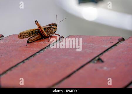 Braune Heuschrecke auf Fliesen. In Griechenland im Oktober fotografiert. - Stockfoto
