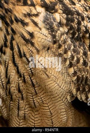 UK, Sherwood Forest, Nottinghamshire - Oktober 2018: Eurasion Uhu, close-up - Stockfoto