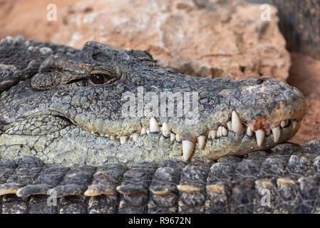 Nilkrokodil an Kamera starrt. Crocodylus niloticus. - Stockfoto