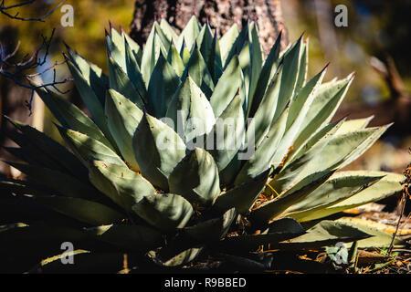 Aloe Pflanze, die in der Gesamtstruktur