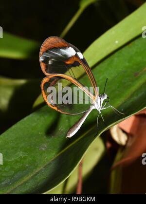 Glasswing Schmetterling Greta oto Sitzen auf einem Blatt - Stockfoto