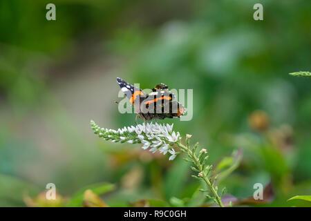 Europäische Tagpfauenauge (Nymphalis io) auf einem Garten Blume im Sommer - Stockfoto