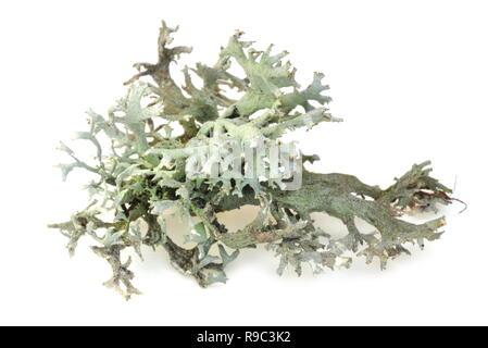 Baum Moos Pseudevernia furfuraceaon weißer Hintergrund - Stockfoto