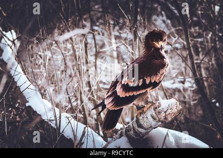 Golden Eagle in einem Winter Forest - Stockfoto