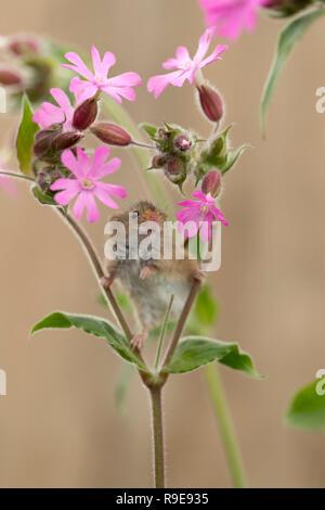 Ernte Maus; Micromys minutus Single auf Campion Blume UK - Stockfoto