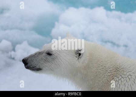 Der Eisbär (Ursus maritimus) Kopf Nahaufnahme - Stockfoto