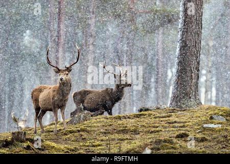 Red Deer; Cervus elaphus Zwei Hirsche im Schnee Schottland; VEREINIGTES KÖNIGREICH - Stockfoto
