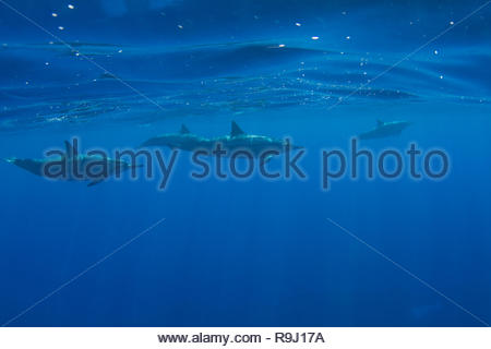 Pod der hawaiischen Spinner Delfine aus Kona, Big Island, Hawaii - Stockfoto