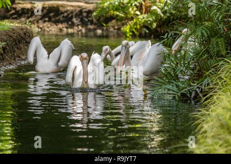 Große weiße Pelikane, Pelecanus onocrotalus, Schwimmen im Teich - Stockfoto