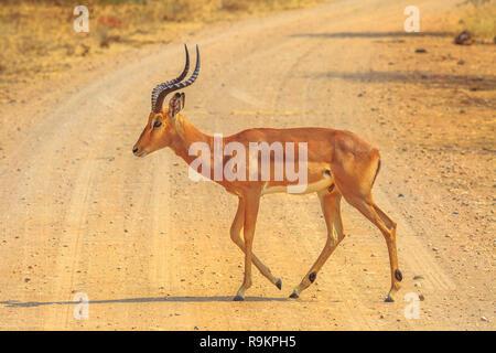 Männliche Impala Seitenansicht, Arten Aepyceros melampus Die gemeinsame afrikanische Antilope von Kruger Nationalpark in Südafrika. c - Stockfoto