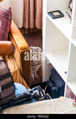 Schottische Gefalteten Ohren Katze Sitzt Auf Dem Boden Und Versteckt
