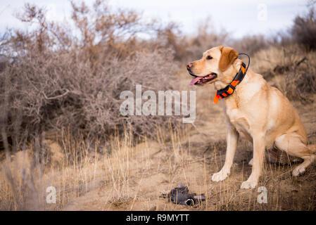 Gelbe Labrador Retriever Jagdhund in der Wüste Landschaft sitzen. - Stockfoto
