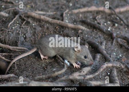 Wilde braune Ratte im Unterholz von Wäldern nach Nahrung suchen. - Stockfoto