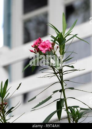 Closeup Nerium oleander rosa Blume mit rosa Knospen isoliert auf unscharfen Hintergrund - Stockfoto