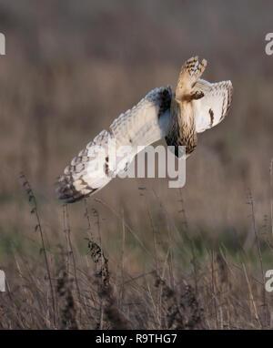 Eine wilde Short Eared Owl (Asio Flammeus) die Tauchgänge auf ahnungslose Beute, Gloucestershire - Stockfoto