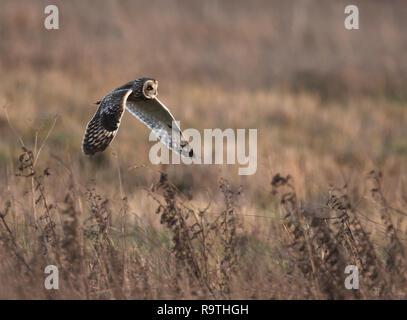 Eine wilde Short Eared Owl (Asio Flammeus) jagt niedrig über Cotswolds Grasland, Gloucestershire - Stockfoto