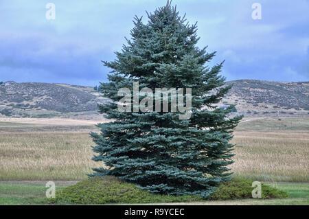 Eine individuelle Evergreen blaue Fichte wächst an den Rand eines hohen Aufzug Grünland in der Nähe von den Ausläufern der Colorado Rocky Mountains. - Stockfoto