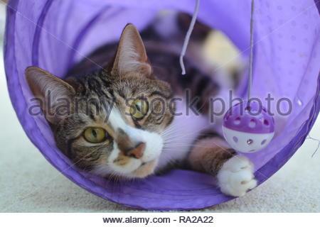 Closeup Portrait einer Hauskatze spielen in einem lila Schlauch. - Stockfoto