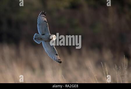 Short-eared Eule Asio Flammeus jagt. Winter. UK - Stockfoto