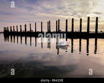 Schwäne bei Ebbe an bosham Hafen in der Nähe von Chichester, West Sussex UK. - Stockfoto