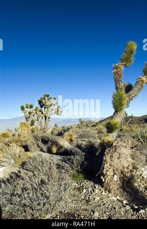 Joshua Bäume (Yucca Buergeri) von man und natürliche Ursachen geklopft, ändern Sie die Umgebung an den Hängen des Mount Charleston in der südlichen Nevada. - Stockfoto