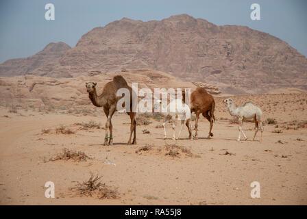 Eine Herde von Dromedar oder arabische Kamele (Camelus dromedarius) zu Fuß in der Wüste. Im Wadi Rum, Jordanien fotografiert. - Stockfoto