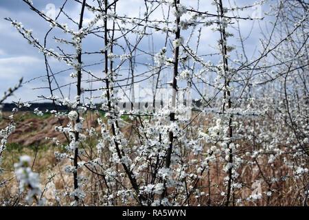"""""""Prunus Spinosa - schlehe. Schlehe weißen Blüten Nahaufnahme Fotografie. - Stockfoto"""