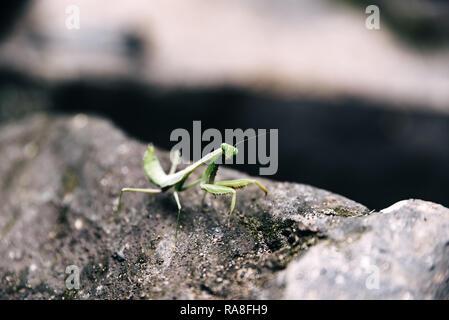 Mantis sitzt auf einem Felsen in Bali, Indonesien - Stockfoto