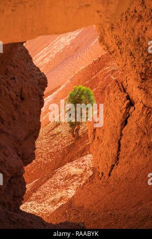 Blick durch Kalkstein Bogen zu einem Pinus Flexilis-Protze Pine Tree - auf Felsen im Bryce Canyon National Park, Utah, USA wachsenden - Stockfoto