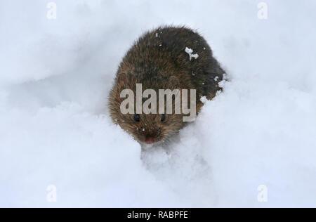 Oberstdorf, Deutschland. 03 Jan, 2019. Eine Maus sitzt in den frisch gefallenen Schnee. Foto: Karl-Josef Hildenbrand/dpa/Alamy leben Nachrichten - Stockfoto