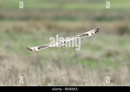 Pevensey Ebenen, UK. 3. Jan2019.de Wetter. Eine kurze eared owl (Asio Flammeus) jagt über Felder auf der Pevensey Ebenen an diesem Nachmittag. Die Eulen sind regelmäßige Besucher in die Gegend und können oft im Winter gesehen werden. Pevensey Ebenen, East Sussex, UK. Credit: Ed Brown/Alamy leben Nachrichten - Stockfoto