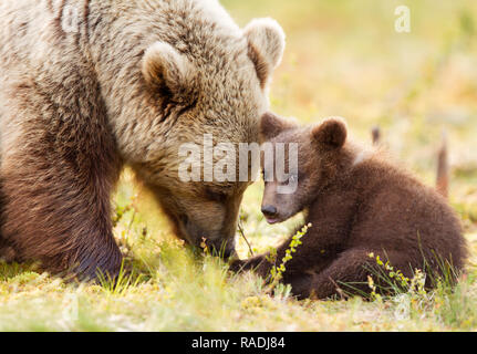 Nahaufnahme der Eurasischen brauner Bär (Ursos arctos) und Ihre spielerische Cub im finnischen Wald. - Stockfoto