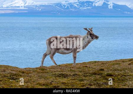 Svalbard Rentier (Rangifer tarandus platyrhynchus) in der Tundra, Spitzbergen, Svalbard, Arktis, Norwegen, Europa - Stockfoto