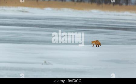 Ezo Red Fox oder ulpes vulpes schrencki oder kkitakitsune in Hokkaido, Japan im Winter - Stockfoto