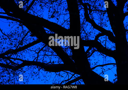 Blauen Nachthimmel Licht von unten und durch die Tilia Zweige Silhouetten - Stockfoto