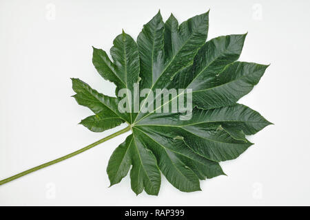 Blatt Reispapier Pflanze, Tetrapanax papyrifer Stockfoto