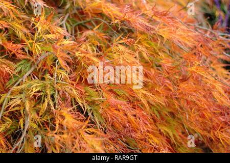 """Acer palmatum Dissectum Atropurpureum. Japanischer Ahorn 'Dissectum Atropurpureum"""" Anzeigen von lebhaften Farben des Herbstes, Großbritannien - Stockfoto"""