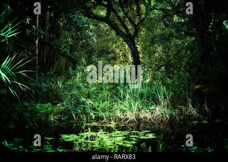 Am frühen Morgen auf der Innenseite einer subtropischen Wald Wilderness Area in Estero, Florida, Alten verbogenen krumme Bäume und Lotus Teich überwuchert, styliz - Stockfoto