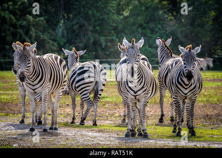 Nahaufnahme einer Packung Zebras, einige, die an der Kamera.