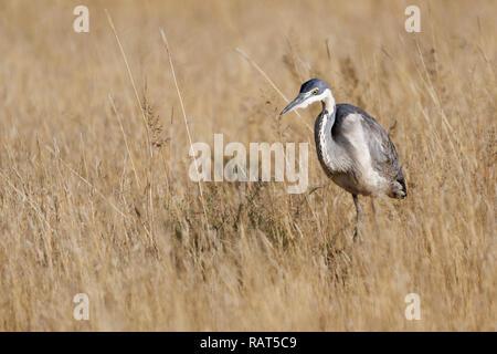 Black-headed Heron (Ardea Melanocephala), Erwachsener, in der Hohen trockenes Gras, auf der Suche nach Beute, Mountain Zebra National Park, Eastern Cape, Südafrika, Af - Stockfoto