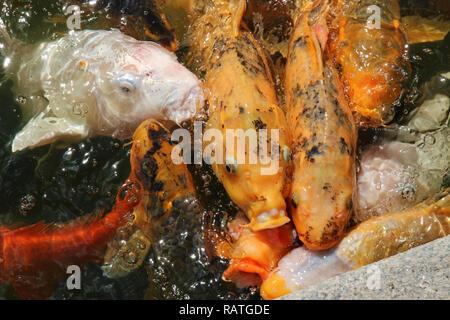 Eine Makroaufnahme eines Schärmen Masse von Koi Fisch warten zu füttern. - Stockfoto