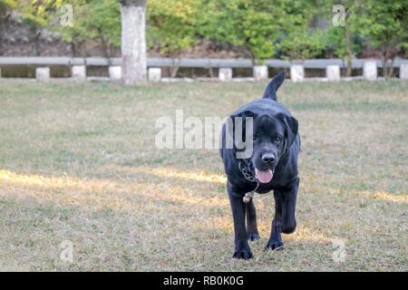 Schwarzer Labrador Hund zu Fuß auf dem Boden, grünen Gras im sonnigen Tag - Stockfoto