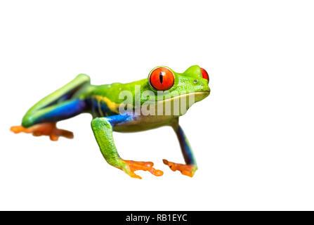 Red-eyed Tree Frog (Agalychnis callidryas) Porträt, auf weißem Hintergrund, Beschneidungspfade befestigt.