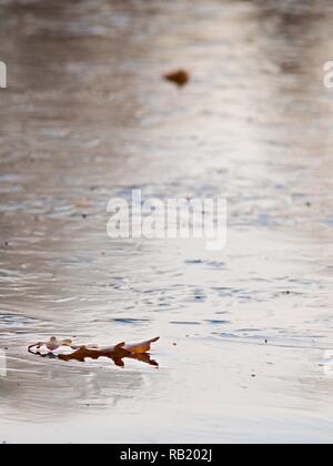 Alte Blätter gefroren auf der Oberfläche des Eis. Eisige Abdeckung der Teich im Wald. - Stockfoto