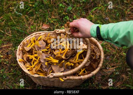 Hand Aufnehmen einer Holz- korb mit Winter Pfifferlingen gefüllt nach einer erfolgreichen Ernte in einem Wald. - Stockfoto