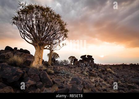 Der Köcherbaum im Sonnenuntergang - Stockfoto