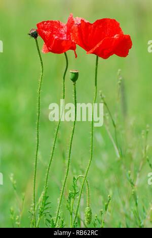 Gemeinsame Mohn, Klatschmohn, Mohnblume oder Klatschrose, pipacs oder vadmák (Papaver rhoeas) - Stockfoto