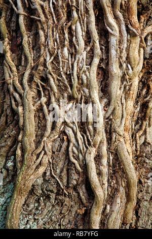 Alte holzige Stängel von Efeu, Hedera helix, geplagt mit holzwurm auf eine Eiche von einem Feldweg bei Neatishead, Norfolk, England, Vereinigtes Königreich, Europa. Stockfoto